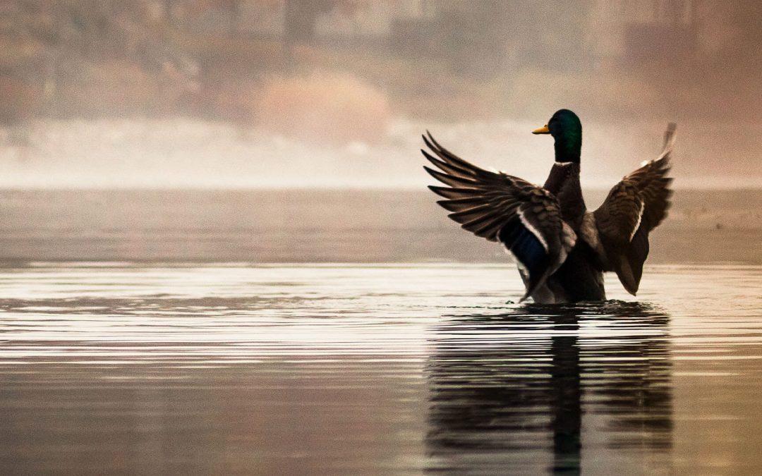 Arkansas Ducks